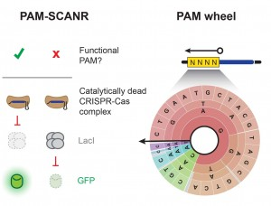 PAM assay figures_Mol Cell_Graphical abstract